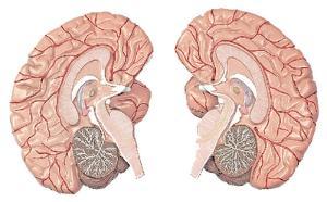 Altay® Brain Model