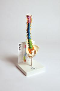 Human small spine model with fold-out guide
