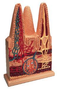 Denoyer-Geppert® Intestinal Villi Model