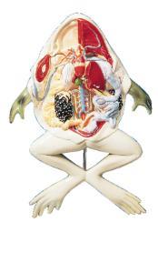 Sargent Welch® Frog Model