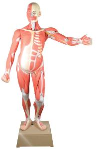 Eisco® Muscular Anatomy Figure