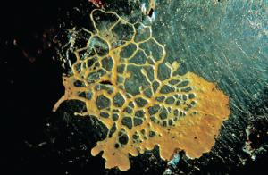 Live <i>Physarum polycephalum</i> Culture