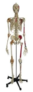 Rudiger® Super-Skeleton
