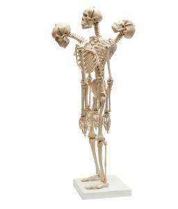 Rudiger® Small Scale Human Skeleton Models