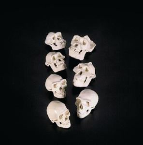 Homonid/Great Ape Skull Replica Series