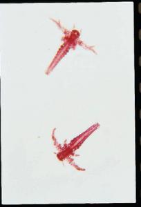 Artemia, Nauplius Stage Slide