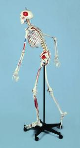 Rudiger Advanced Flexible Painted Numbered Skeleton