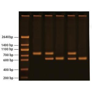 Detect huntington's disease by PCR