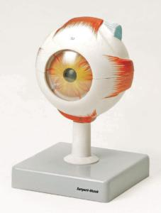 Eisco® Human Eye