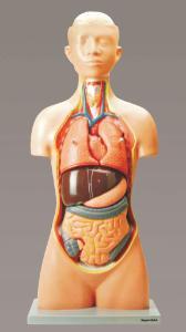 Eisco® Human Torso Model