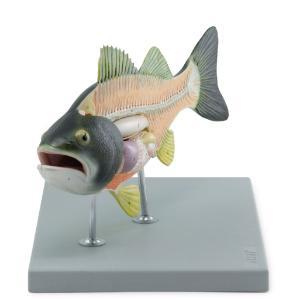Altay® Fish Model