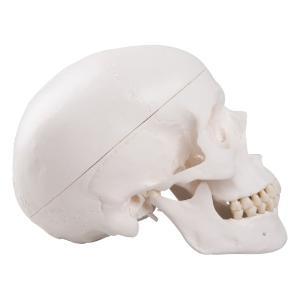 Classic Human Skull