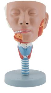 Altay® Head Section with Larynx Model