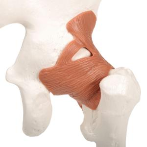 Functional Hip Joint