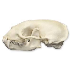 Natural Bone Striped Skunk Skull