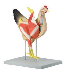 Altay® Hen Model