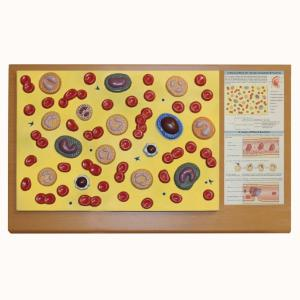 Walter® Blood Cells