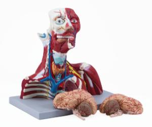 Altay® Anatomy of Cranial Cavity, Head, Neck, and Thorax Model