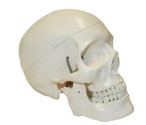 Walter® Life Size Human Skull