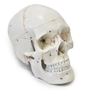 Walter® 3 Part Numbered Skull