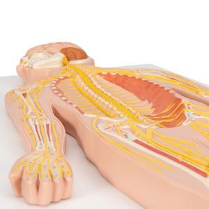 Model Nervous System