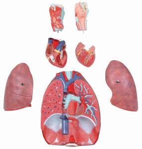 Walter® 7 Part Respiratory System