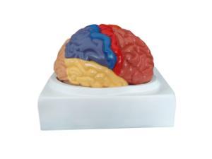 Walter® 2 Part Regional Brain