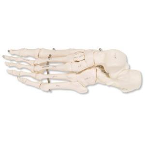 3B Scientific®  Articulated Foot Skeleton