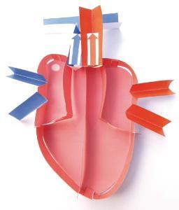 Model kit human heart