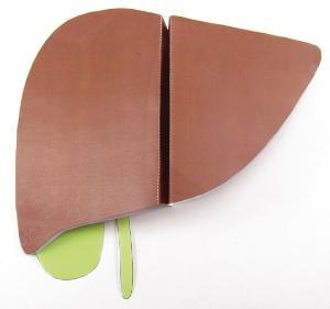 Model kit liver/spleen