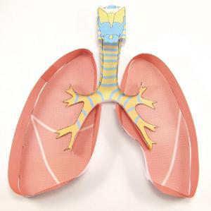 Model kit lungs