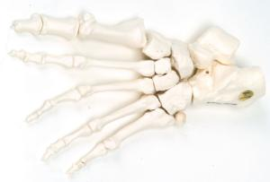 3B Scientific® Individual Bones