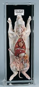 Fetal Pig Anatomy Mount