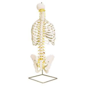 3B Scientific®  Classic Flexible Spine With Ribs
