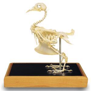 3B Scientific® Rock Dove Skeleton