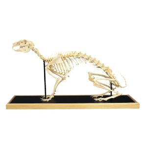 3B Scientific® Rabbit Skeleton