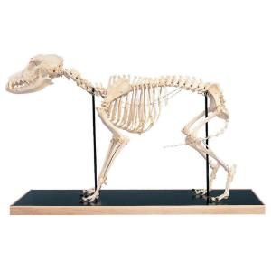 3B Scientific® Rigid Canine Skeleton