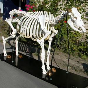 3B Scientific® Cow Skeleton