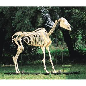 3B Scientific® Horse Skeleton