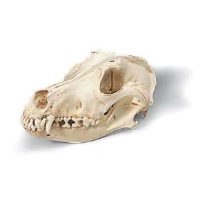 3B Scientific® Canine Skull