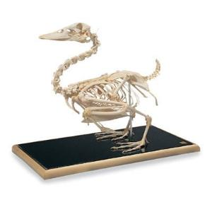 3B Scientific® Duck Skeleton