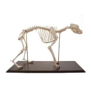3B Scientific® Flexible Canine Skeleton