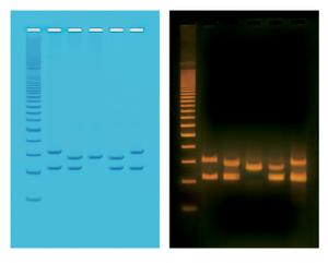 PCR-based VNTR Human DNA Typing Kit