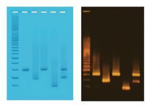 PCR-Based DNA Fingerprinting Kit