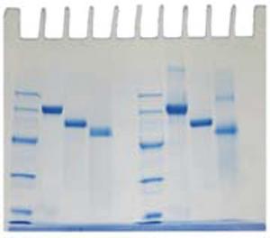 Determination of Protein Molecular Weight Kit (EDVO-Kit 153)