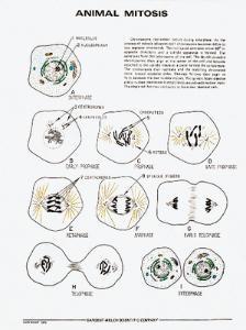 Animal Mitosis Bio-Key™ Chart