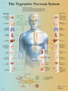 3B Scientific® Vegetative Nervous Chart