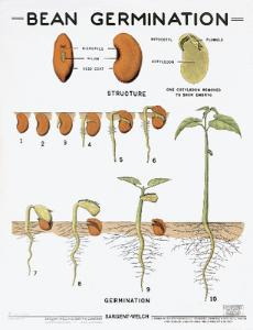 Bean Germination Chart