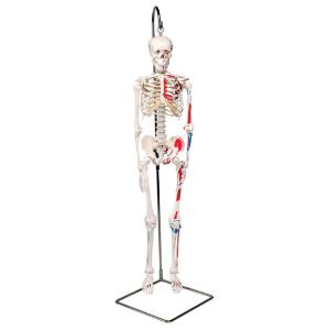 3B Scientific® Miniature Skeletons