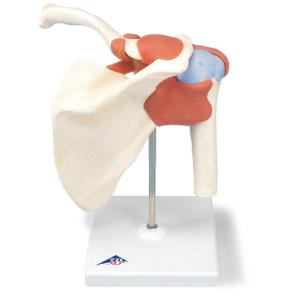 3B Scientific® Deluxe Functional Shoulder Joint